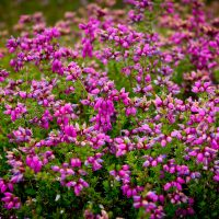 Purple Flowering Heather